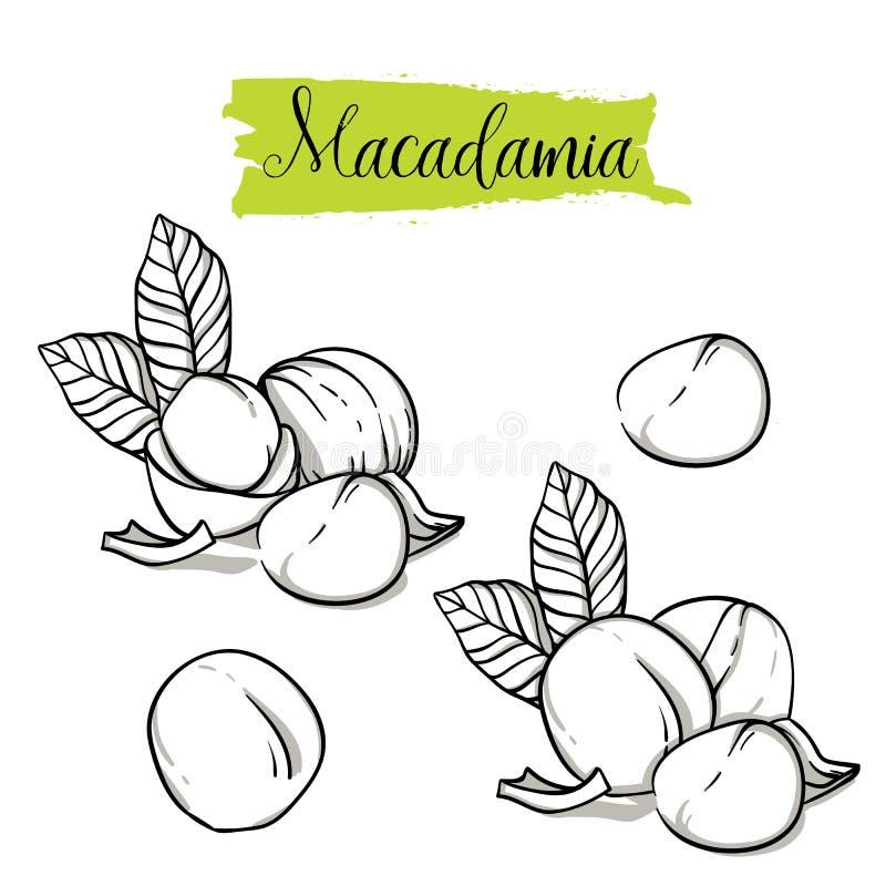 Insieme disegnato a mano della noce di macadamia di stile di schizzo illustrazione di stock