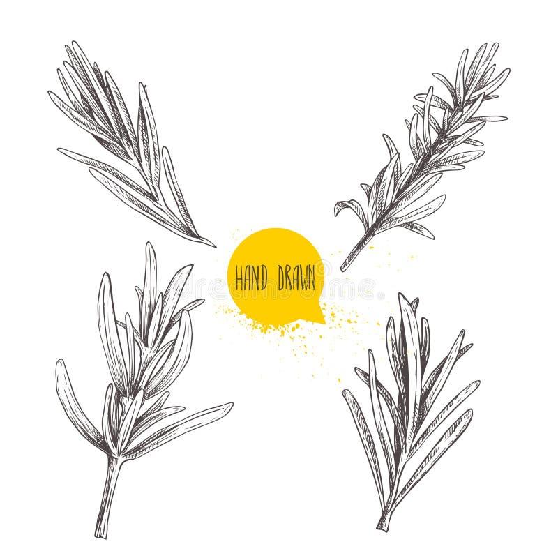 Insieme disegnato a mano di schizzo dei rosmarini di stile di schizzo Erbe e raccolta del condimento Pianta culinaria, di cucina, illustrazione vettoriale