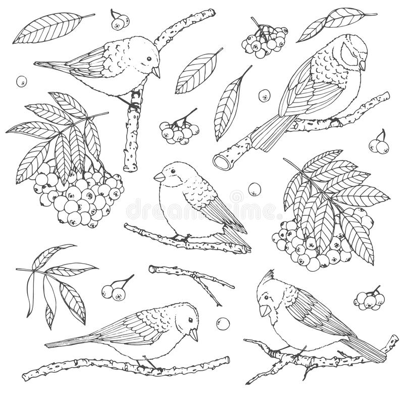 Insieme disegnato a mano di vettore degli uccelli, dei rami, delle foglie e dei contorni della sorba isolati su fondo bianco illustrazione vettoriale