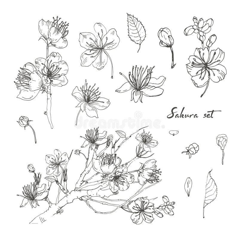 Insieme disegnato a mano realistico di sakura con i germogli, fiori, foglie, ramo Illustrazione d'annata di stile di contorno royalty illustrazione gratis