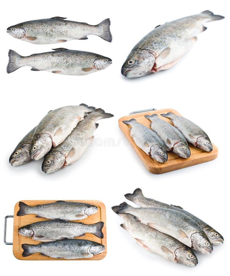 Insieme fresco dei pesci della trota fotografia stock