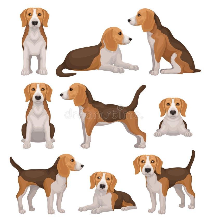 Insieme piano di vettore del cane del cane da lepre nelle pose differenti Piccolo cane da caccia con il cappotto bianco Brown e l illustrazione di stock