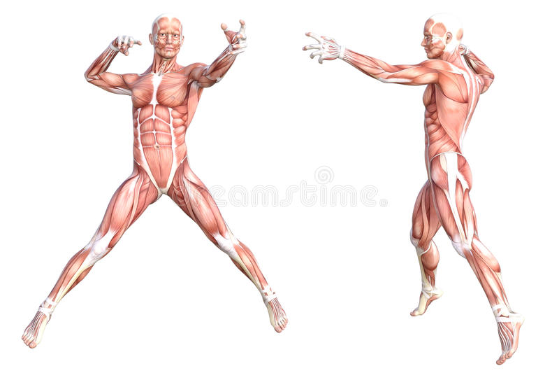 Insieme senza pelle sano del sistema di muscolo del corpo umano illustrazione di stock