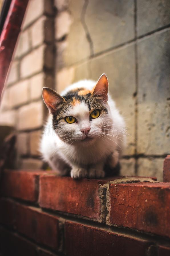 Free Insightful Cat Sitting On A Brick Wall In Warm Colors, Portrait Royalty Free Stock Photos - 163415988
