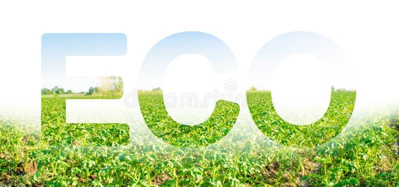 Inskrypcja ECO na tle kartoflany plantacji pole Przemysł rolny i przemysł Pi?kny krajobraz zdjęcie stock