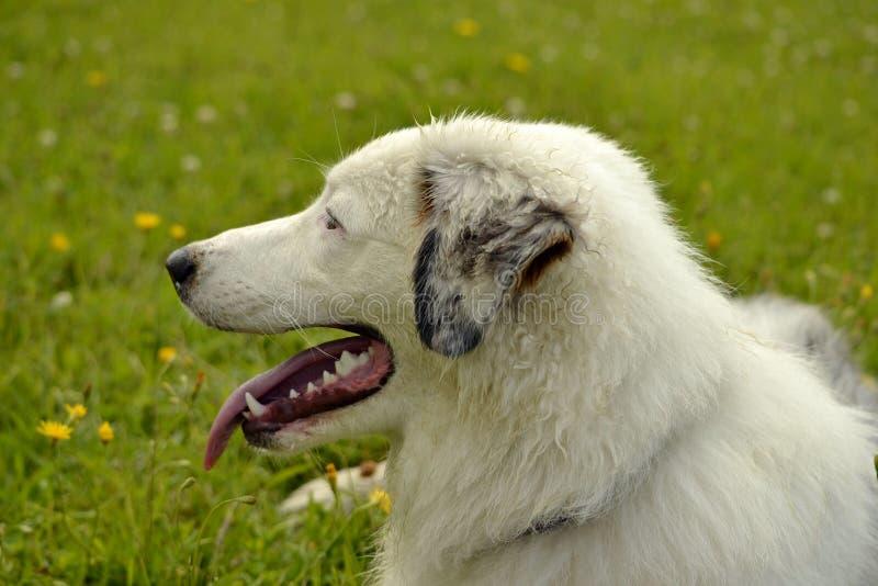 Insolation, santé des animaux familiers pendant l'été Jeune chien de berger australien australien Comment protéger votre chien co photos stock
