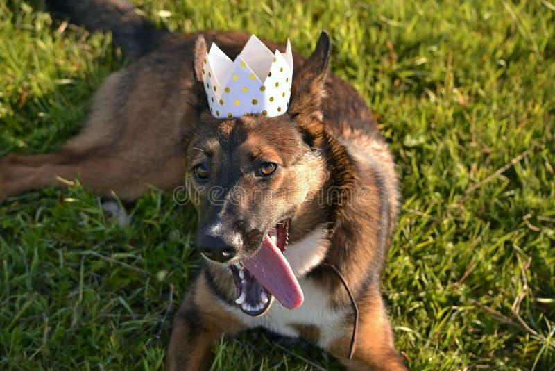 Insolation, santé des animaux familiers pendant l'été Jeune chien-roi Comment protéger votre chien contre la surchauffe Formation photographie stock