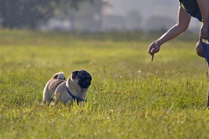 Insolation, santé des animaux familiers pendant l'été Jeune roquet-chien Comment protéger votre chien contre la surchauffe Format photographie stock libre de droits