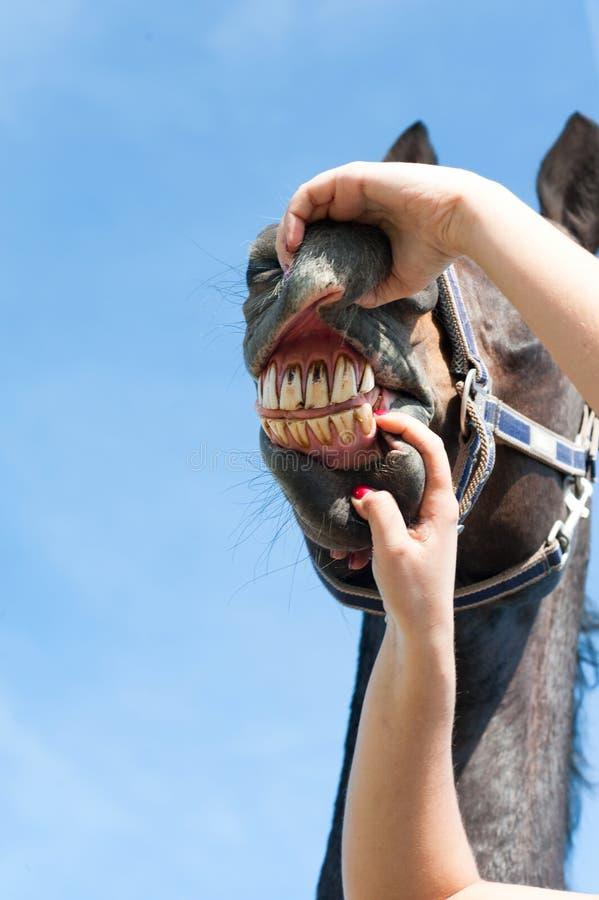 Inspection des dents et de la santé de cheval Image multicolore d'extérieur image stock