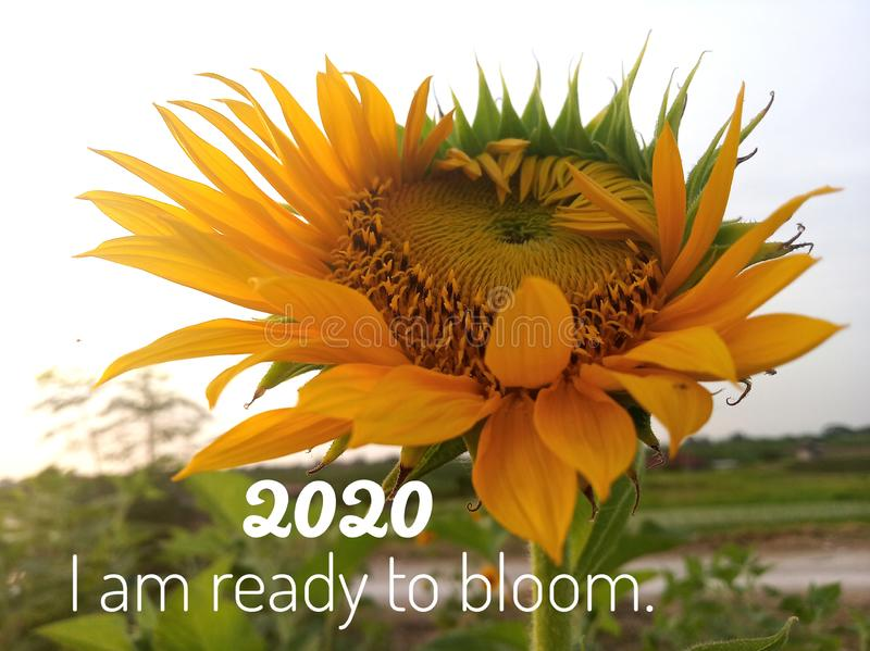 Inspirational motivational quote - 2020 i am ready to bloom. With background of fresh & beautiful sunflower blossom in the garden royalty free stock image