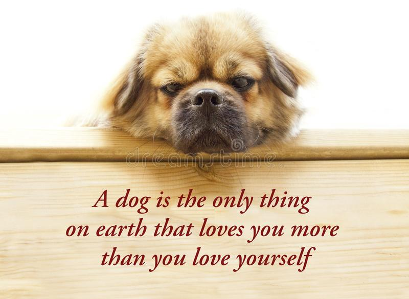 Inspirational quote about dogs and humans saying - A dog is the only thing on earth that loves you more than he loves himself. With cute Tibetan spaniel dog stock photos