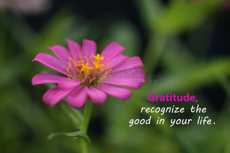 Inspirational quote - Gratitude, recognize the good in your life. With beautiful zinnia flower blossom closeup. Words of wisdom. Concept with nature background royalty free stock photos