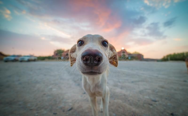 Inspired Puppy. Wide angle close up of a wide eyes puppy with the setting sun behind it stock photo