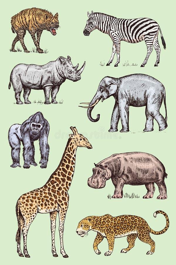 inställda afrikanska djur Sebra för västra gorilla för hyena för leopard för flodhäst för noshörningelefantgiraff lös inristad ha stock illustrationer