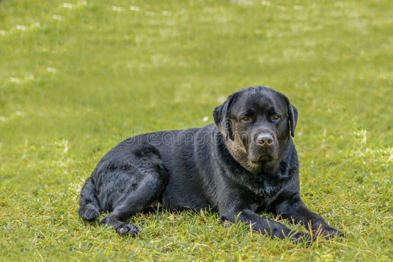 Inställning Lebra för svart hund på gräsmatta för grönt gräs arkivbild