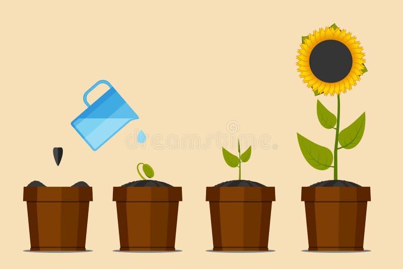 Installatie groeiende stadia Groene installatiebloem, grafische het tuinieren zaailingsinstallatie Zonnebloem Vector illustratie royalty-vrije illustratie