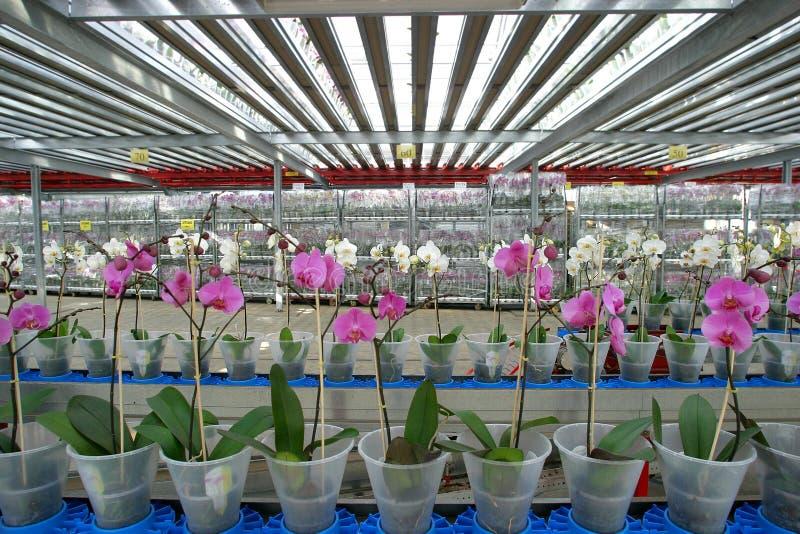 installatie kinderdagverblijf-orchideeën stock afbeelding