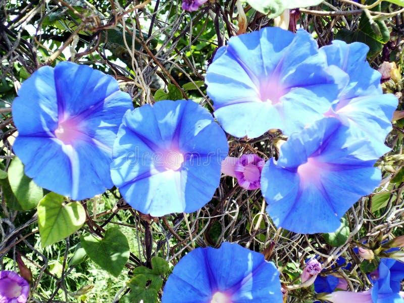 Installatie met blauwe tricolorcampanita van bloemipomoea stock foto