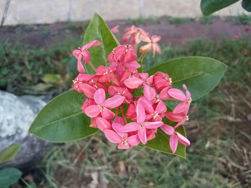 Installatie met groene bladeren en roze bloemen in Puerto Rico stock foto's