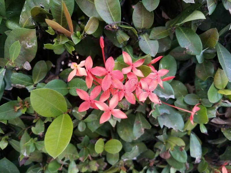 Installatie met groene bladeren en roze bloemen in Puerto Rico royalty-vrije stock foto