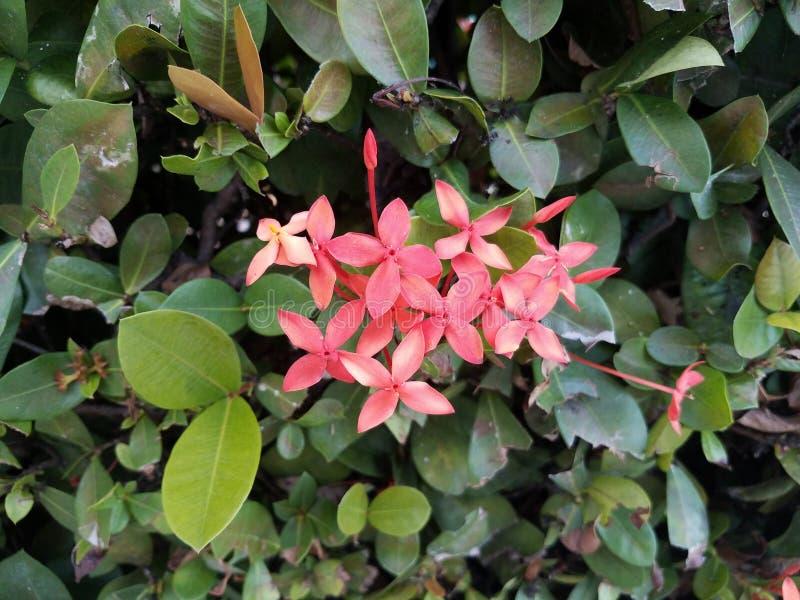Installatie met groene bladeren en roze bloemen in Puerto Rico stock afbeelding