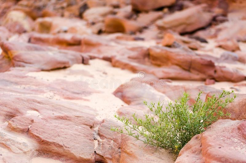 Installatie met groene bladeren op een achtergrond van rotsen van een gekleurde canion in van Zuid- Egypte Dahab Sinai royalty-vrije stock foto's