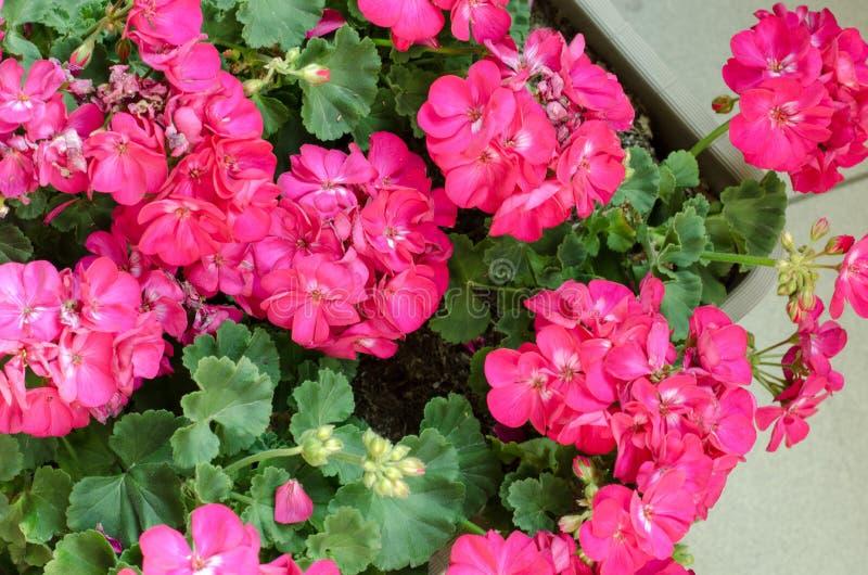 Installatie Pelargonuim, in een plastic pot, op het balkon Roze pelar stock afbeelding