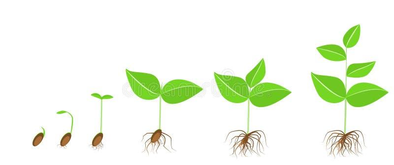 Installatie Stadia van de groei en ontwikkeling van de installatie van zaad aan volwassen installatie stock illustratie