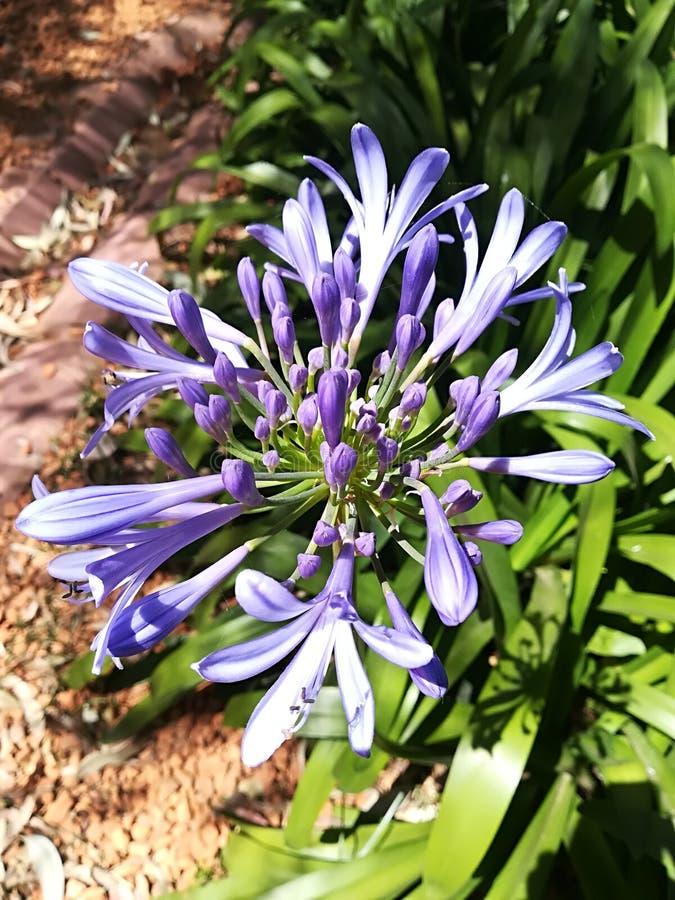 Installatie van blauwe bloemblaadjes in zonlicht stock foto's