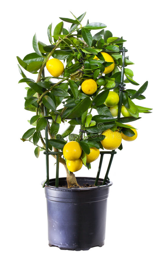Installatie van citroen in bloempot royalty-vrije stock foto