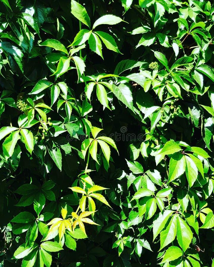 installatie van de bladeren de groene natuurlijke zomer royalty-vrije stock fotografie