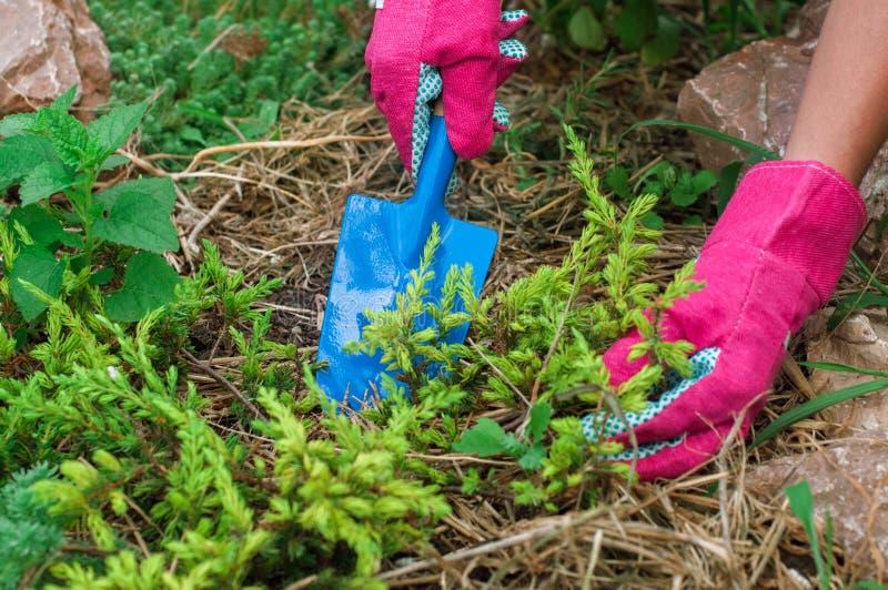 Installatie van de landbouwers de repotting die jeneverbes in grond met muls wordt behandeld stock foto's