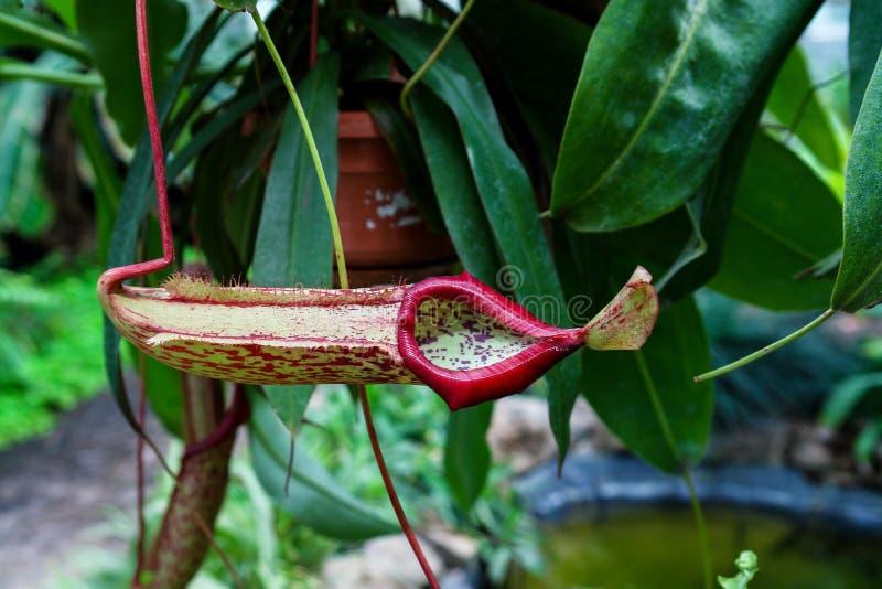 Installatie van de Nepenthes de vleesetende tropische waterkruik royalty-vrije stock foto's