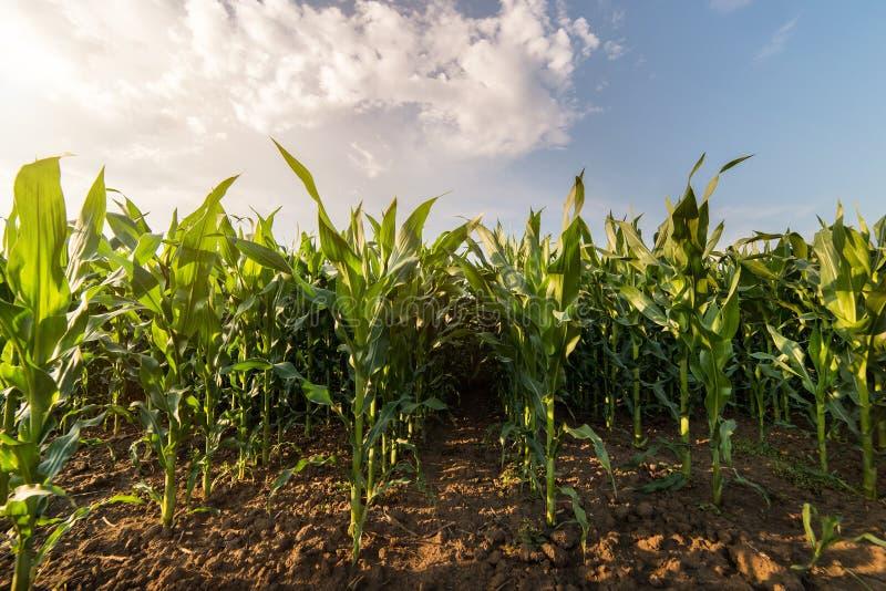 Installatie van jonge zoete maïs stock afbeeldingen