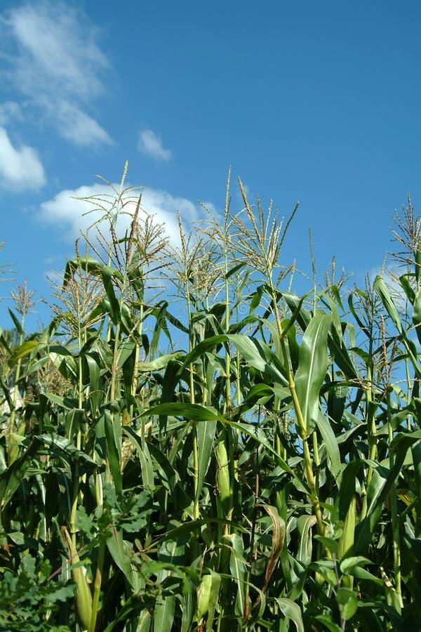 Installatie van maïs stock foto