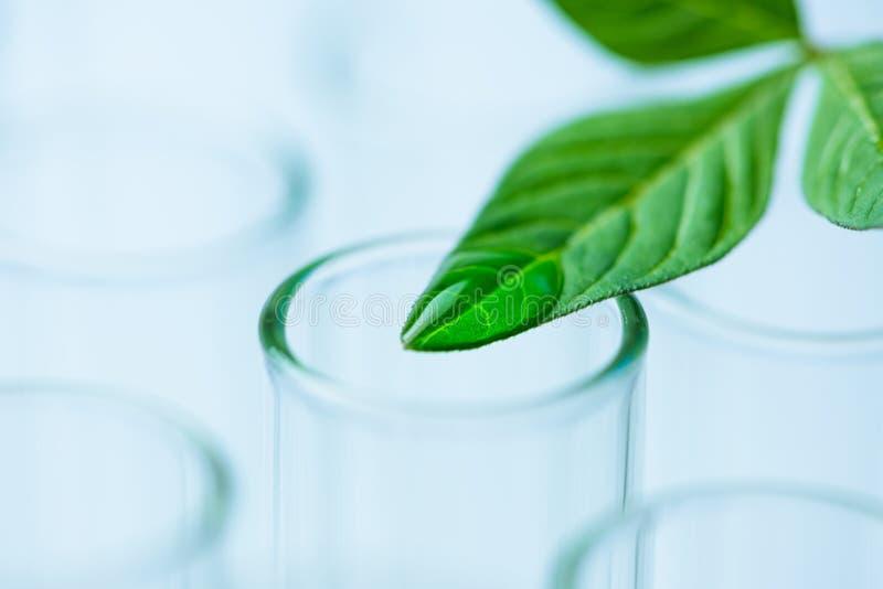 Installatiebladeren op reageerbuis, het concept van het biotechnologieonderzoek royalty-vrije stock foto