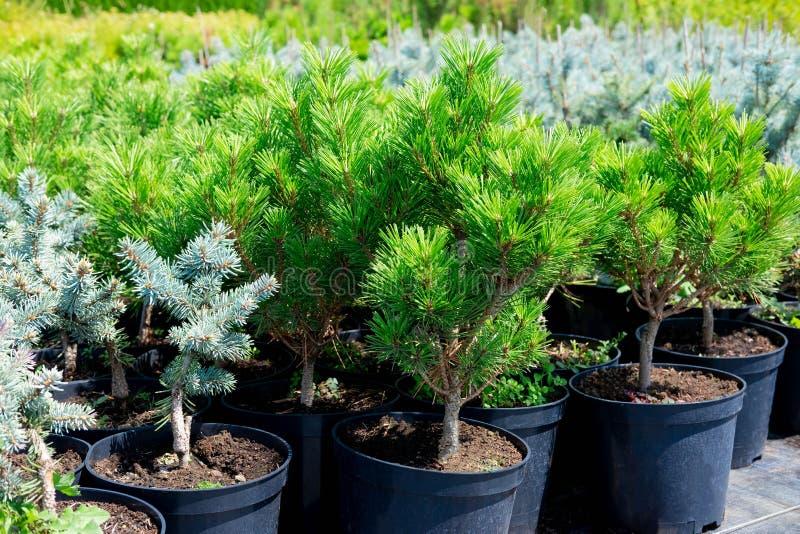Installatiekinderdagverblijf Naaldbomen in potten Verkoop van zaailingen van bomen stock foto's