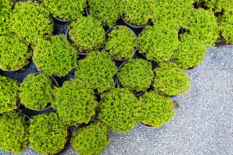 Installatiepijnboom in ingemaakte, Groene arborvitaezaailingen royalty-vrije stock foto's