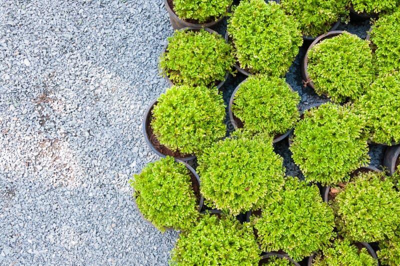 Installatiepijnboom in ingemaakte, Groene arborvitaezaailingen stock afbeeldingen