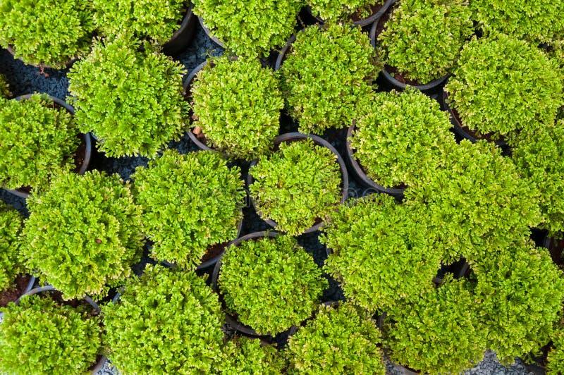 Installatiepijnboom in ingemaakte, Groene arborvitaezaailingen stock foto