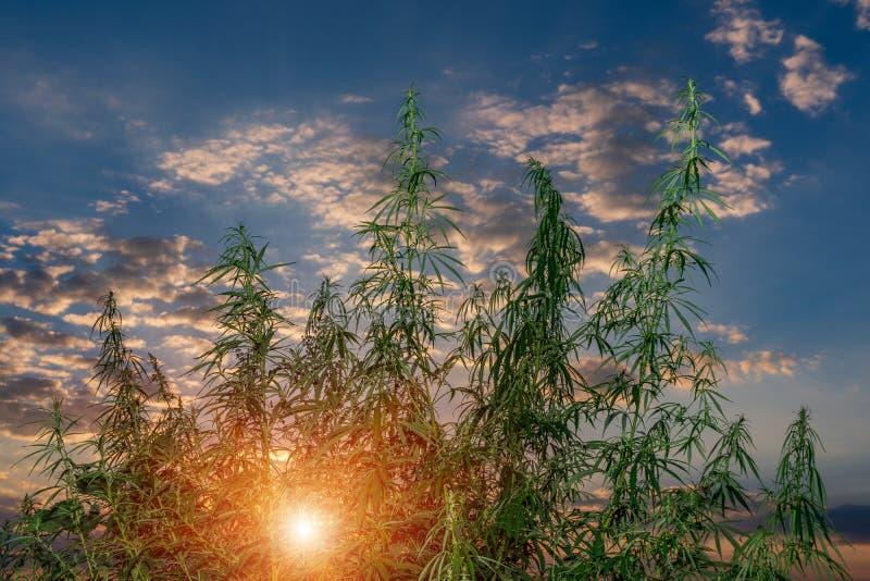 Installaties van weiden en gebieden - hennep, cannabis, marihuana royalty-vrije stock afbeelding