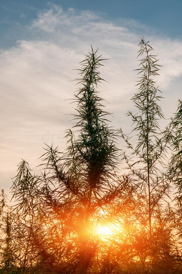 Installaties van weiden en gebieden - hennep, cannabis, marihuana stock afbeelding