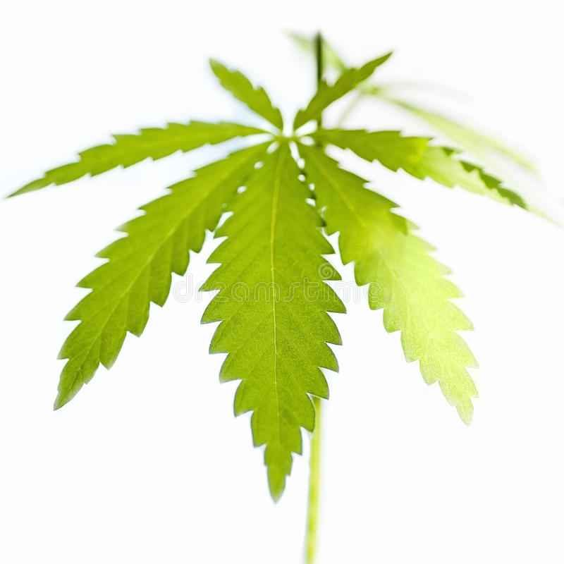Installaties van weiden en gebieden - hennep, cannabis, marihuana royalty-vrije stock afbeeldingen