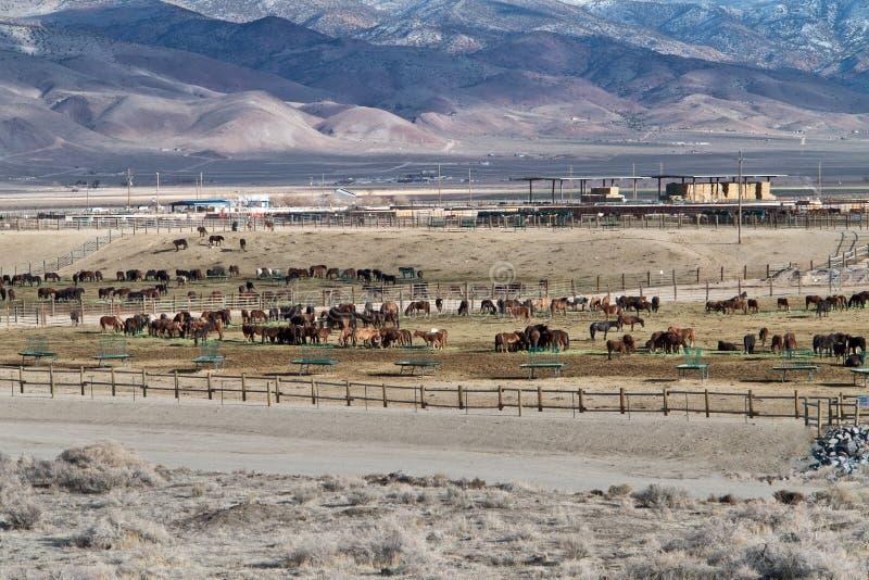 Installation d'adoption de cheval sauvage de BLM photographie stock