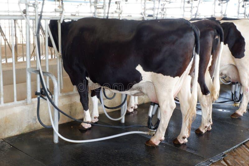 Installation de traite de vache et mécanisé trayant l'équipement image stock
