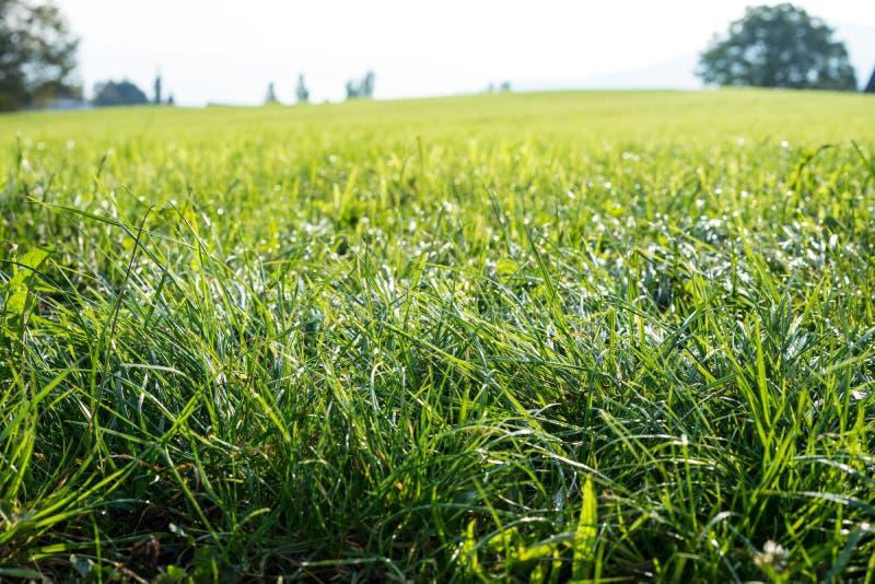 Instandgehaltener, frischer grüner Rasen im Abschluss oben für Hintergrund oder Beschaffenheitssommerwiesengras lizenzfreies stockfoto