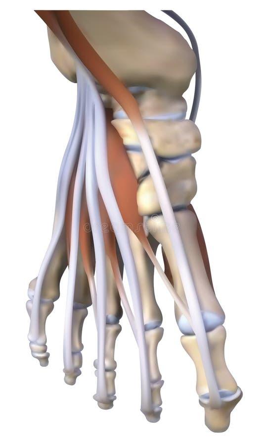 Instep ścięgna i kość ilustracji