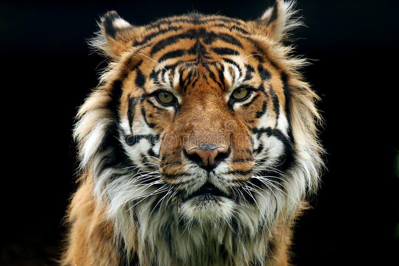 Download Instinct stock image. Image of nature, mammals, tiger - 5255793