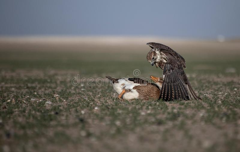 Instinct animal de la vie de Duck Attack Desert Nature Wild de faucon photo libre de droits