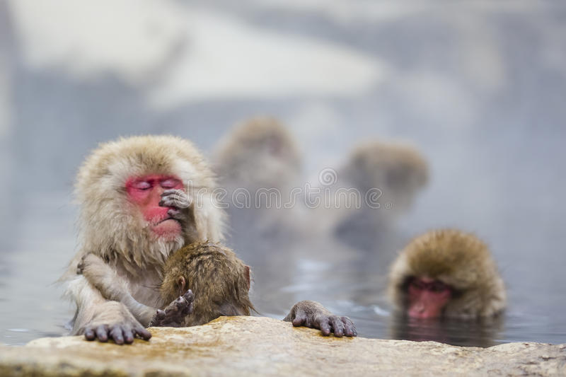 Instinct: Wild Baby Snow Monkey Grooming Practice. The focus here is on an adorable tiny baby wild snow monkey that sits on it`s mother`s lap, practicing the art royalty free stock photography